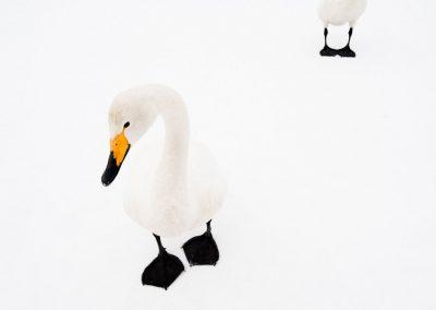01-Swan_unterthiner