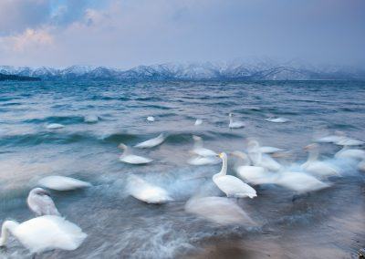 Japan, Hokkaido. Whooper swan at down. January 2010