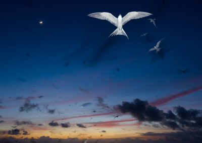Seychelles terns