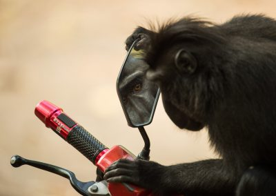 Macaques MM8273