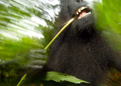 Sulawesi black-crested macaca (Macaca nigra)