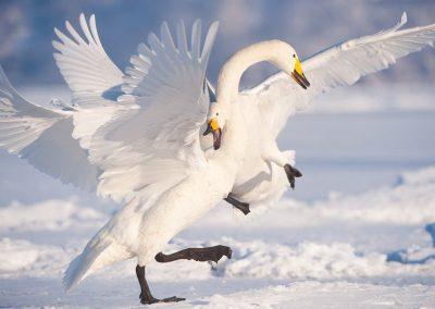09-Swan_unterthiner