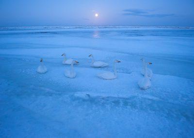 12-Swan_unterthiner
