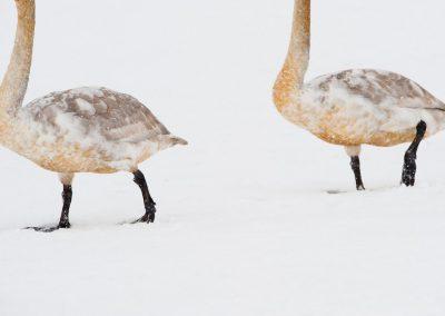15-Swan_unterthiner