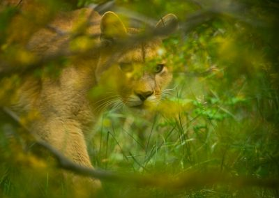 In search of the puma