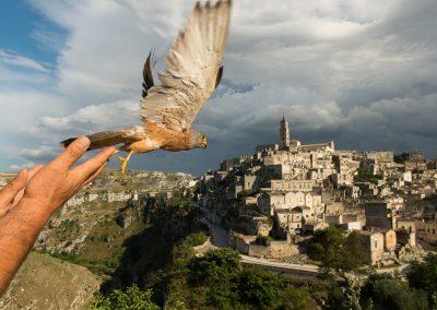 Rilascio falco con Matteo Visceglia