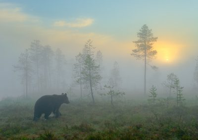 A bear's morning  -Bear in the taiga, Finland, 2008