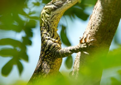 Komodo Dragons MM8131
